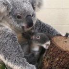 Adorable koala added to Miami zoo