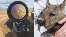 'Slaughter will kill mothers and their babies': Permit issued to cull 200 wombats