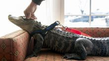 How Wally the emotional support alligator helps his owner cope with depression