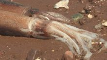 Hundreds of dead squid found on P.E.I. puzzles beachgoers
