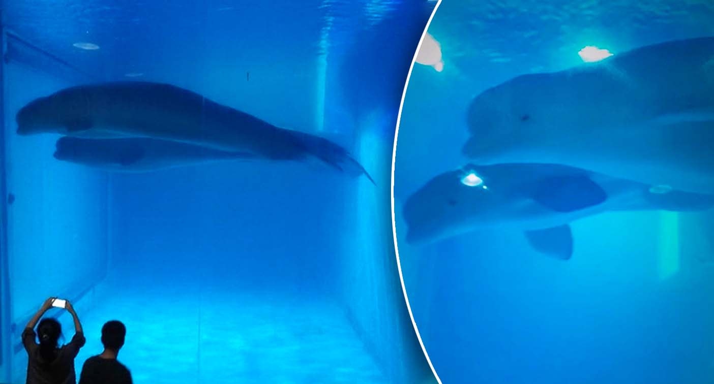 'The worst I have seen': Heartbreaking photos show whales in cramped tank at aquarium