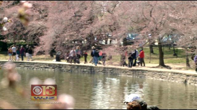 Weekend Weather Was Picture Perfect To View The Cherry Blossoms In DC
