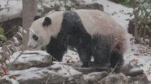 Giant Panda Bei Bei Lives His Best Life During First Snowfall of Season