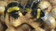 Bumblebee parents miss out on sleep while caring for young, study finds