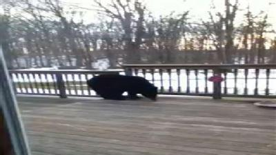 Home Video: Bear In Town