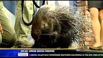 Zoo Day: African crested porcupine