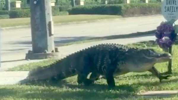 Hungry And Horny Alligators Are Invading Streets, Homes And Pools In Florida