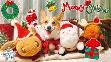 Happy corgi is more than ready to celebrate Christmas