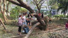 【熱話】香港人做義工鋸樟樹 被質疑為私利