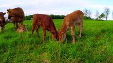 Newborn Calves Adorably Munch On Same Patch Of Grass