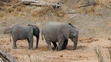 Durstiger Dickhäuter: Elefant gräbt nach Wasser