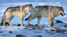 New study finds wolf culls will not save endangered caribou in Western Canada