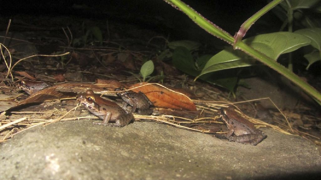 Mountain chicken frogs, a national emblem and an endangered species, in a forest near Roseau on the Caribbean island of Dominica (AFP Photo/HO)