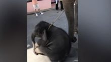 Baby elephant collapses from exhaustion while serving as part of tourist attraction