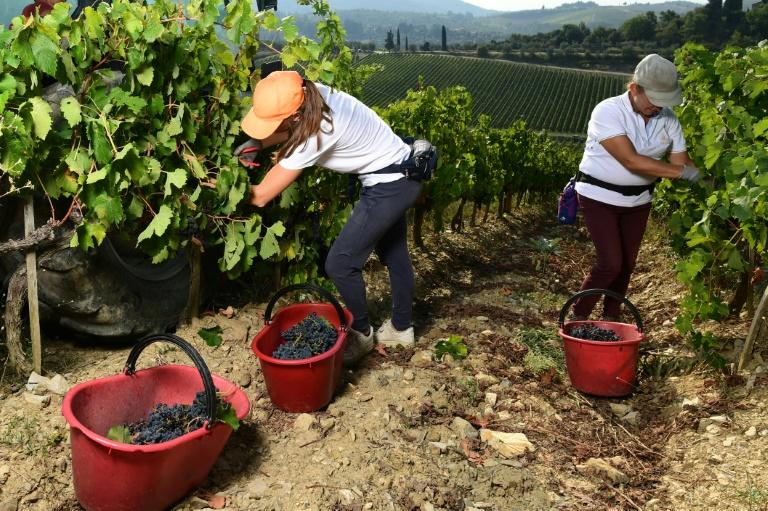 """Six months after the coronavirus shut down Italy and hammered wine sales, the """"Black Roosters"""" -- -- the trademark for Chianti Classico -- are back"""