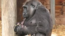 Gorilla mom preciously rocks her newborn baby