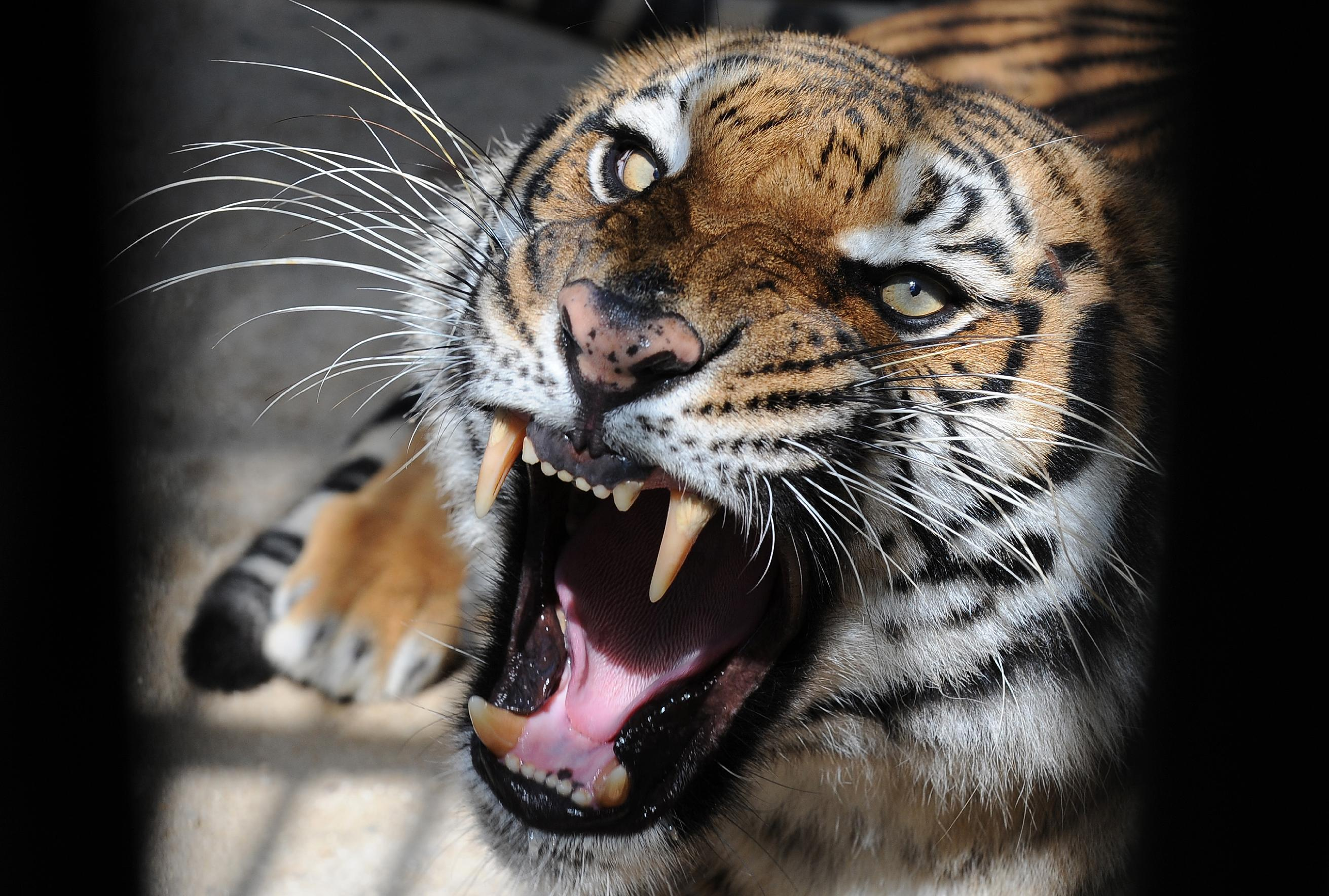 A local resident alerted police after spotting a tiger in a supermarket car park on the outskirts of Paris (AFP Photo/)