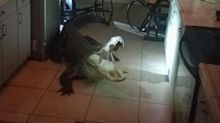 Gator busts through kitchen window, breaks bottles of wine