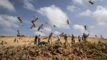 Insektenplage: Der verzweifelte Kampf gegen die Heuschrecken