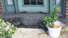 Huge alligator found hanging out on Louisiana porch: 'Brings new meaning to the welcome mat!'