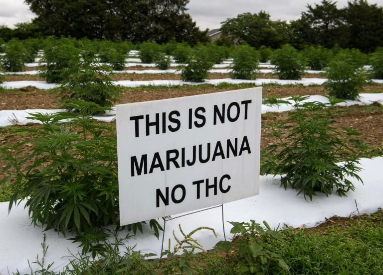 Hemp looks and smells like marijuana but contains very little tetrahydrocannabinol (THC), which is what gets users high