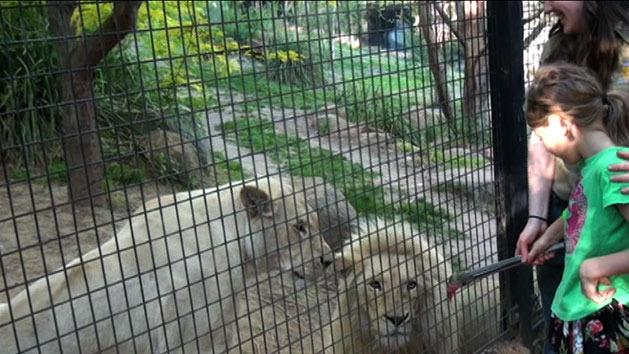 Lion takes a swipe at feeding time