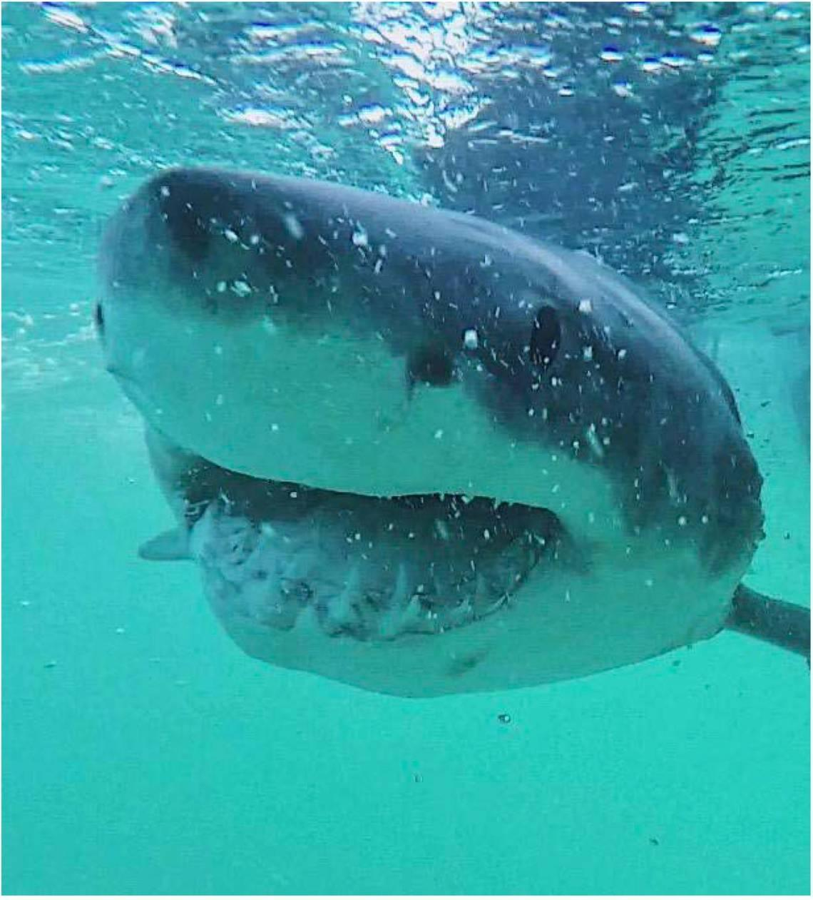 500,000 sharks may have to die in the fight against COVID-19. Here's why
