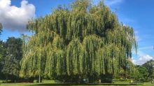 Tree of the week: 'Generations of families have played under this willow tree'