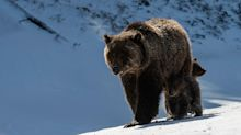 Grizzly bear 'Felicia'and her cubs may be euthanized for being too close to Wyoming road