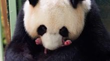 Panda in French Zoo Gives Birth to Female Twin Cubs