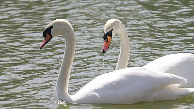 Community Plans to Kill Off Swans
