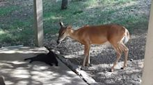 Deer and cat have incredibly become best buddies