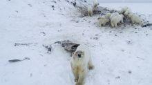 Oltre 50 orsi polari scendono in un villaggio russo, gli abitanti li sfamano