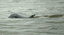 7 years after Deepwater Horizon oil spill, Louisiana dolphins struggle to reproduce