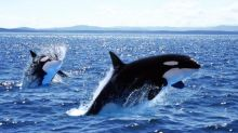 Boats off Spain damaged in orca encounters