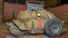 Bert the bonking tortoise has wheels fitted after wearing leg out through too much sex