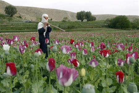 Afghanistan, un campo di papaveri nella provincia di Jalalabad