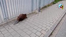 Beaver Doesn't Give a 'Dam' as It Gets Police Escort in Germany