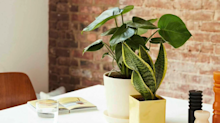 Paging Plant lovers: Here's your Black Friday dream sale on 'Swiss cheese plants' and more