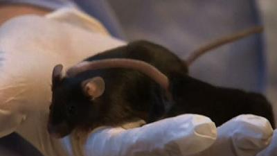 Explosive-sniffing mice become security weapon