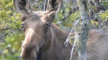 'Aggressive' moose tranquilized after running into car in northeast Calgary