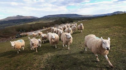 Exposure to sheep could trigger multiple sclerosis, study suggests