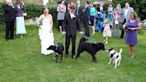 Dog Pees on Bride