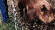 Chris Pratt's 700-lb. Pig Dies: 'This Was a Hard One,' He Writes in Goodbye Post