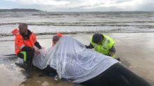 Equipes de resgate australianas obrigadas a praticar eutanásia em baleias na Tasmânia