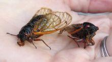 Eating Cicadas
