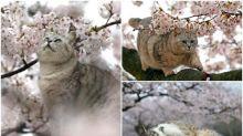 【相集】日本廣島「櫻之貓」 遊客邊賞櫻邊睇喵