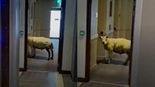 Sheep baffles hotel staff after being spotted 'waiting for lift'