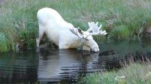 自駕遊拍到傳說生物「幽靈駝鹿」 網民:快刪除