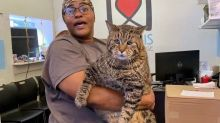 Unbelievably Large Shelter Cat 'Big Boi Mr. B' Has The Internet Swooning